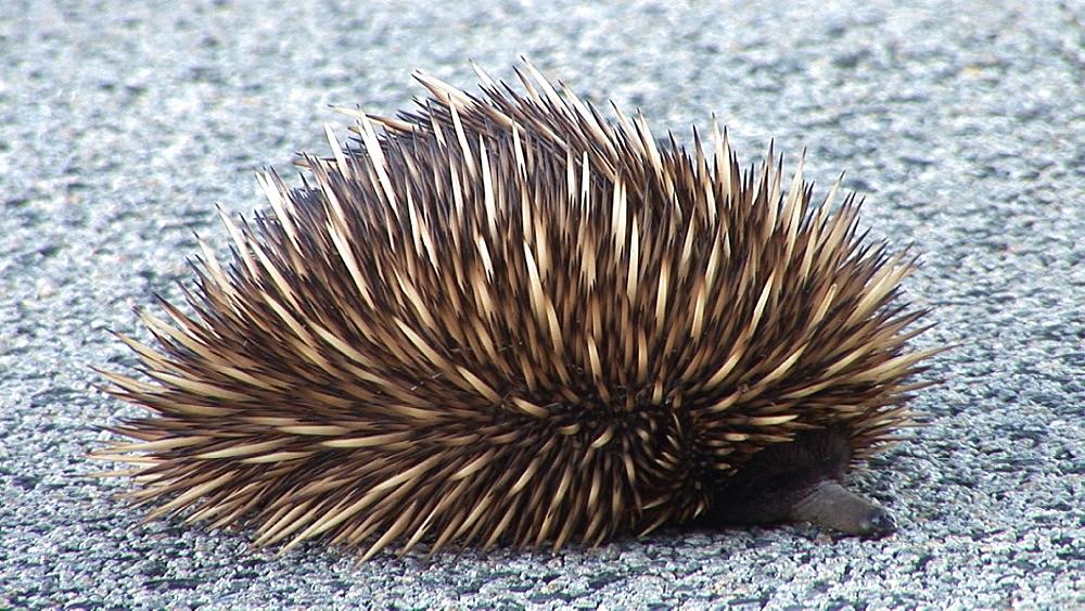 Echidna (Tachyglossus aculeatus) on road surface. Australia - 945-361