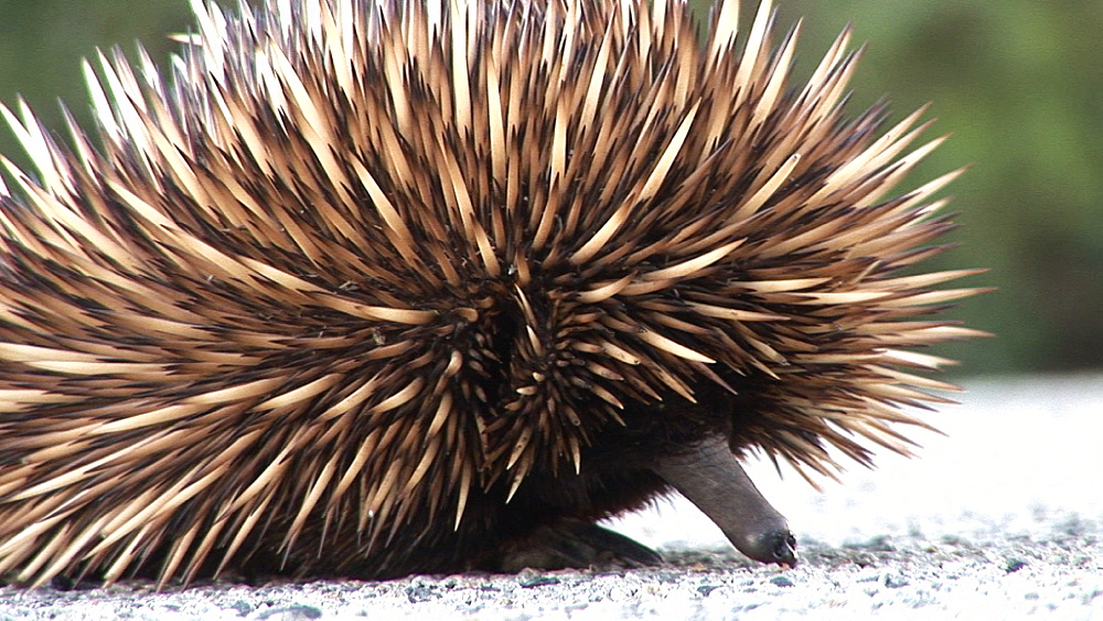 Echidna (Tachyglossus aculeatus) on road surface. Australia - 945-362