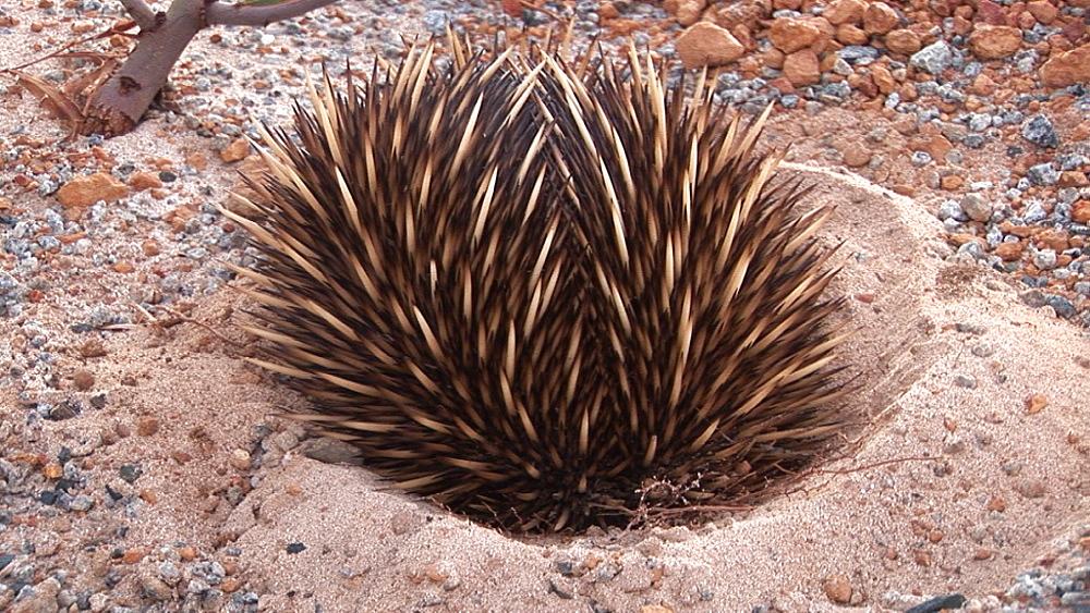 Echidna (Tachyglossus aculeatus) in shallow pit. Australia - 945-363