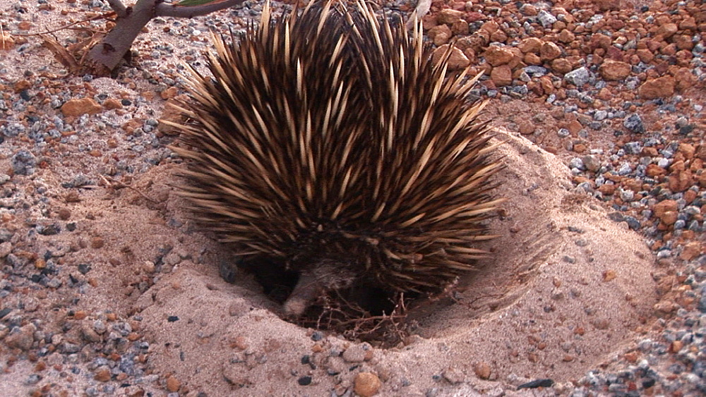 Echidna (Tachyglossus aculeatus) in shallow pit. Australia - 945-364