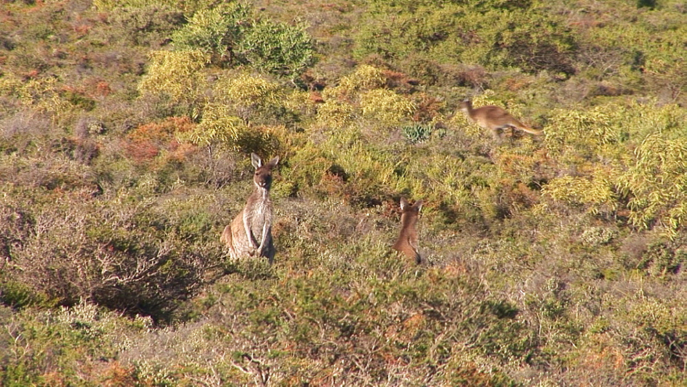 Grey kangaroo (Macropus giganteus). Australia