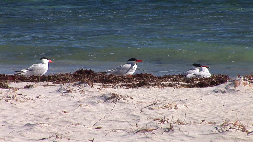 Caspian tern (Hydroprogne caspia). Australia - 945-370