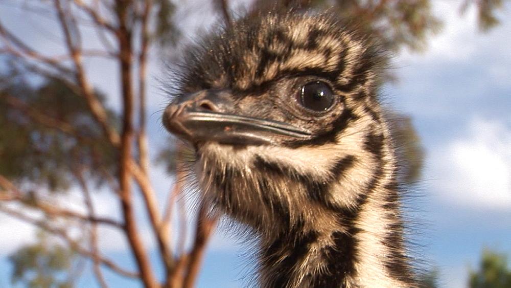 Emu (Dromaius novaehollandiae). chick. captive. Australia - 945-382