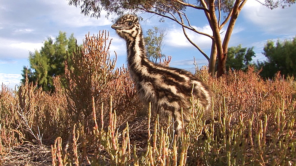 Emu (Dromaius novaehollandiae). chick. captive. Australia - 945-383