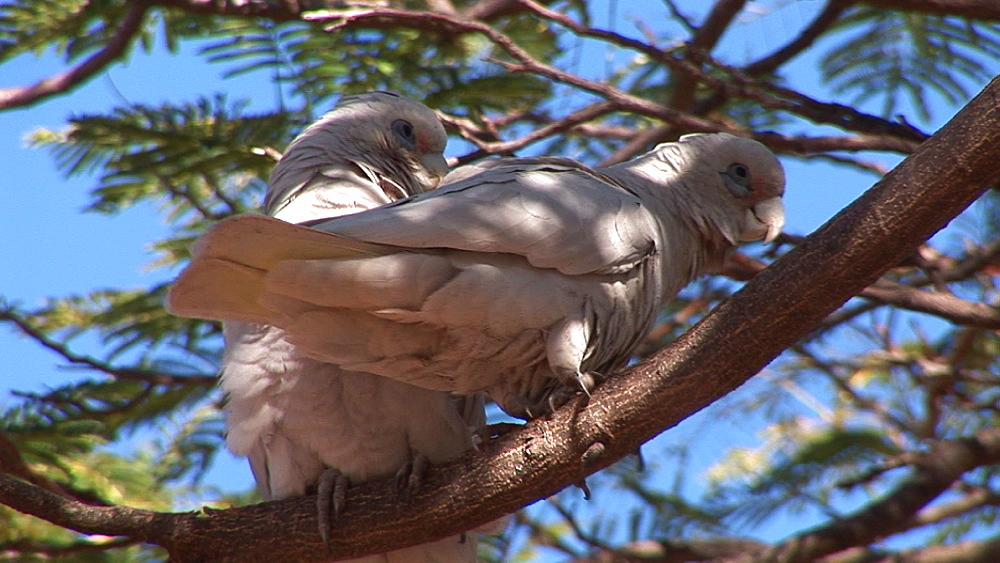 Little corella (Cacatua sanguinea) pair in tree. Australia