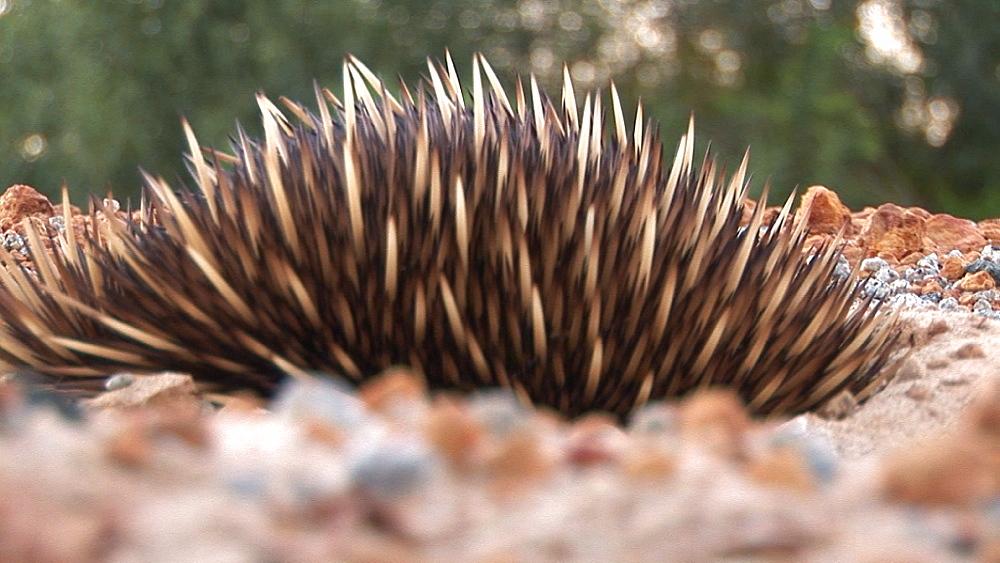 Echidna (Tachyglossus aculeatus) in shallow pit. Australia - 945-406