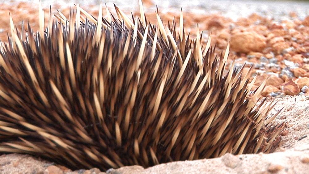 Echidna (Tachyglossus aculeatus) in shallow pit. Australia - 945-407