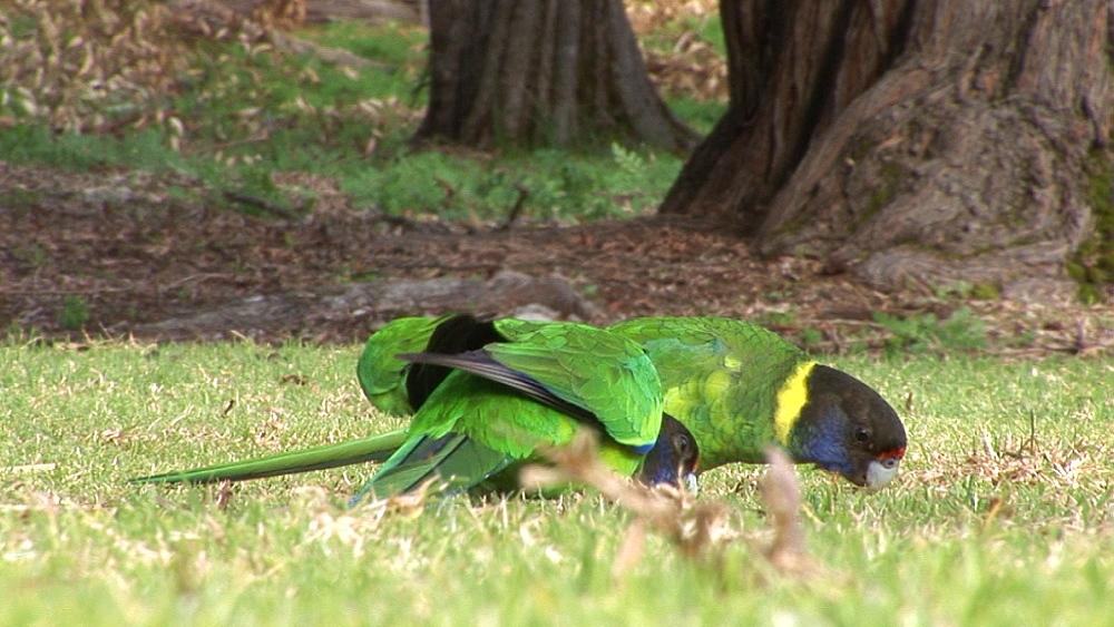 Australian Ringneck (Barnardius zonarius). Australia