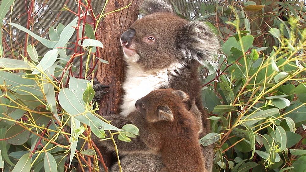 Koala (Phascolarctos cinereus). captive. Australia