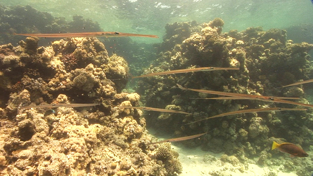 Cornetfish (Fistularia commersonii). coral reef. Red Sea - 945-434