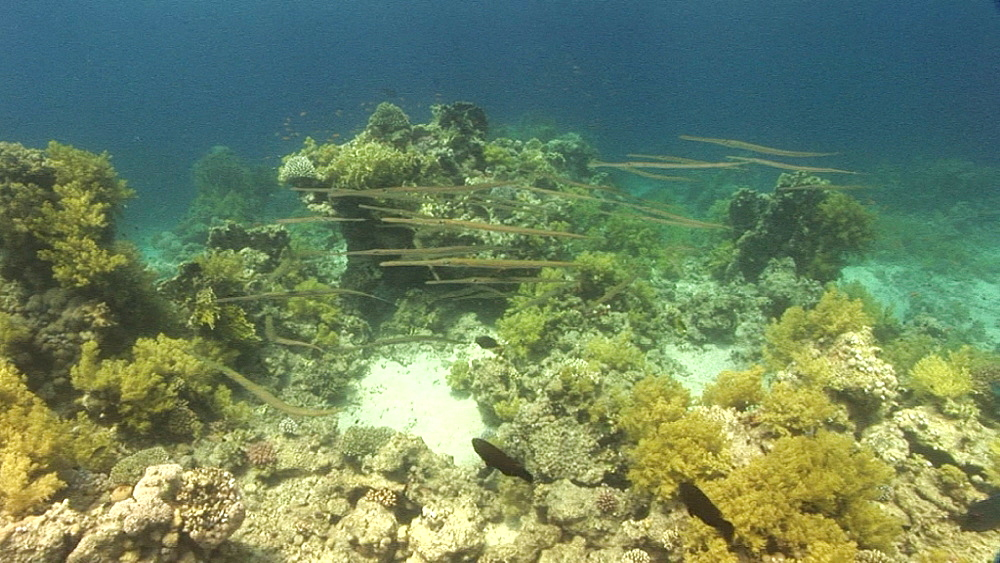 Cornetfish (Fistularia commersonii). coral reef. Red Sea - 945-435