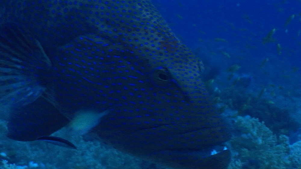 Grouper (currently unidentified) at cleaning station with cleaner wrasse. Red Sea
