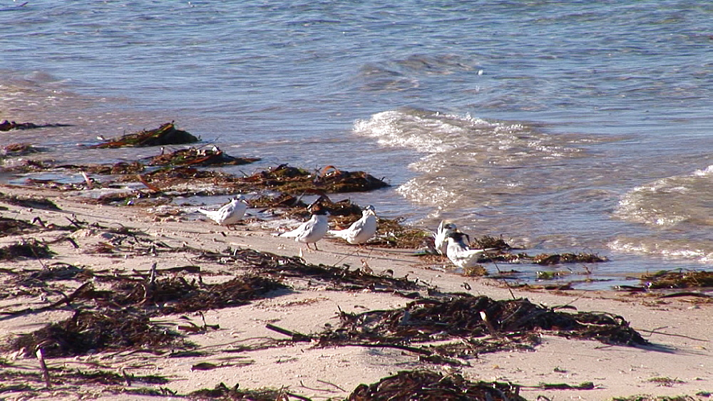 Waders and terns (currently unidentified). Australia - 945-477