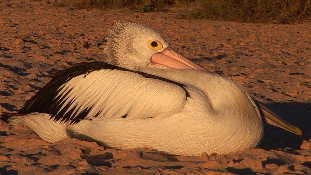 Australian pelican (Pelecanus conspicillatus). Australia - 945-478