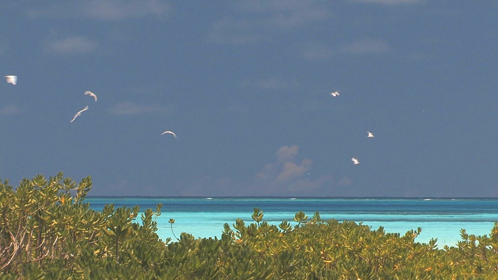 Mangrove and tropic birds (currently unidentified). Midway Island. Pacific - 959-16