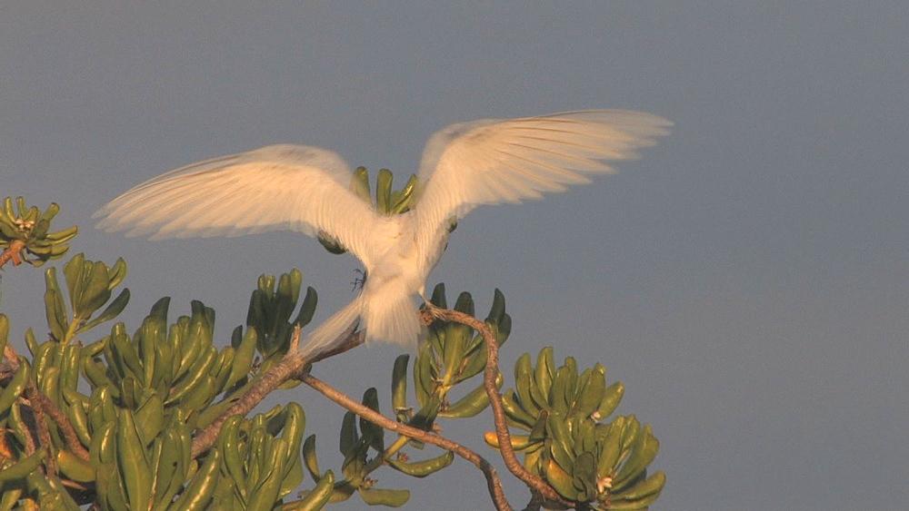 Fairy tern (Sterna nereis). Midway Island. Pacific - 959-17