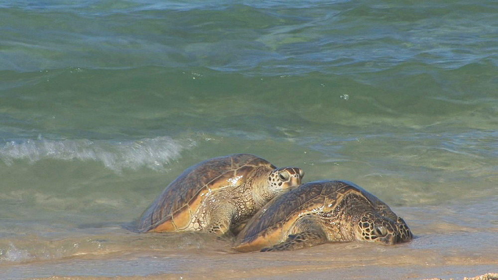 Green sea turtles (Chelonia mydas) on beach. Conservation story - rubbish. Midway Island. Pacific