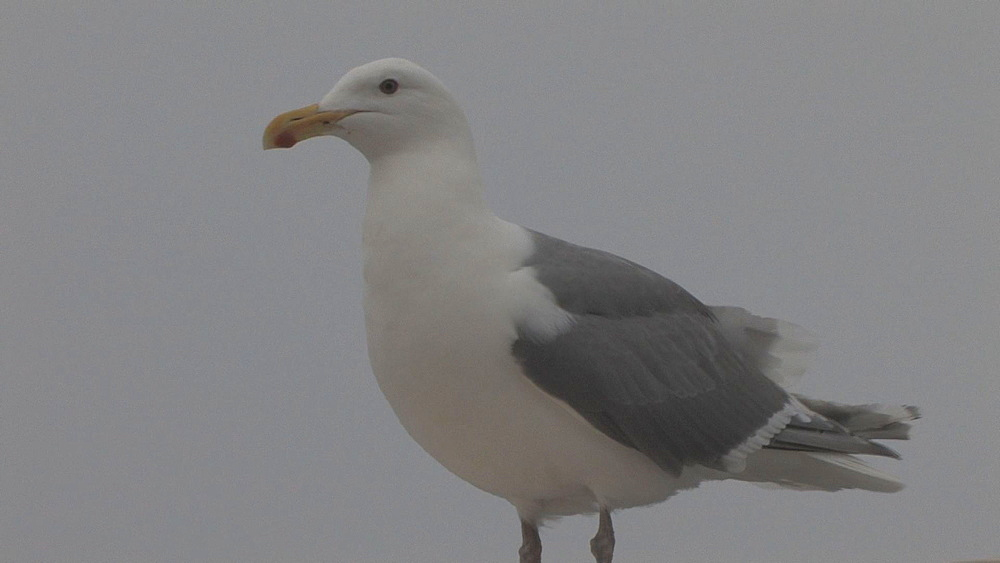 Gull (currently unidentified) suddenly attacked by other gull. Aleutian Islands. Alaska - 959-32