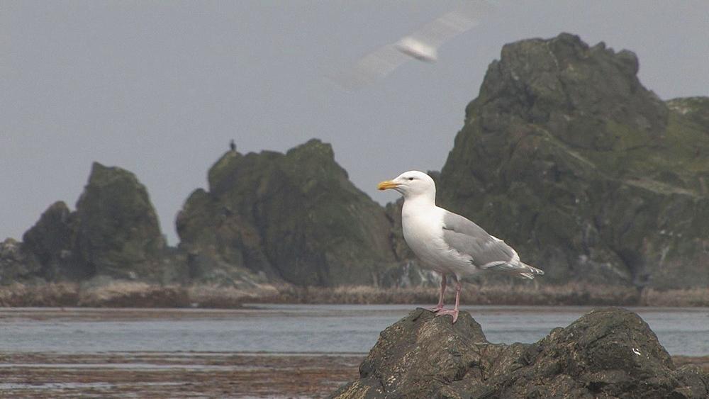 Gull (currently unidentified). Aleutian Islands. Alaska - 959-33