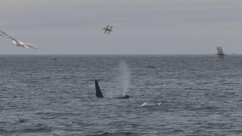 Orca (Orcinus orca) pod. Northern Pacific, Aleutian Islands. Alaska - 959-39