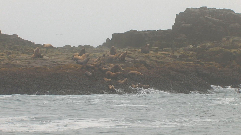 Steller's sealion (Eumetopias jubatus) rookery, seals enter water in alarm. Endangered species. Northern Pacific, Aleutian Islands. Alaska - 959-52