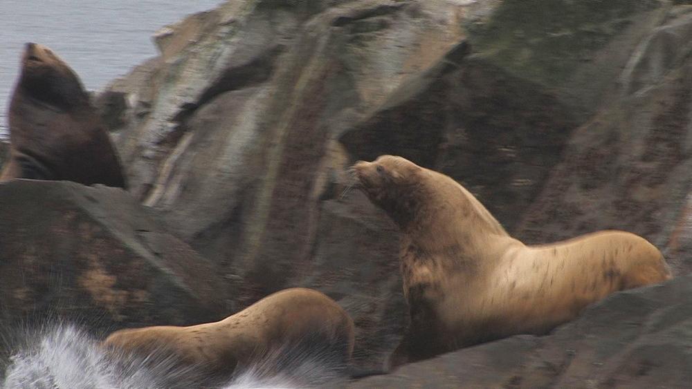 Steller's sealion (Eumetopias jubatus) rookery, seals enter water in alarm. Endangered species. Northern Pacific, Aleutian Islands. Alaska - 959-53