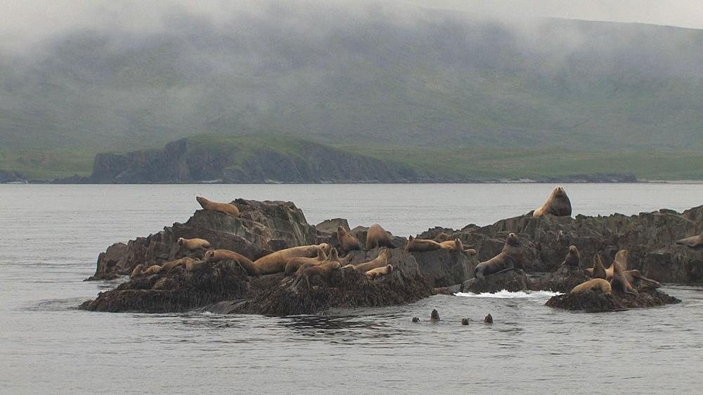 Steller's sealion (Eumetopias jubatus) rookery. Endangered species. Northern Pacific, Aleutian Islands. Alaska - 959-54
