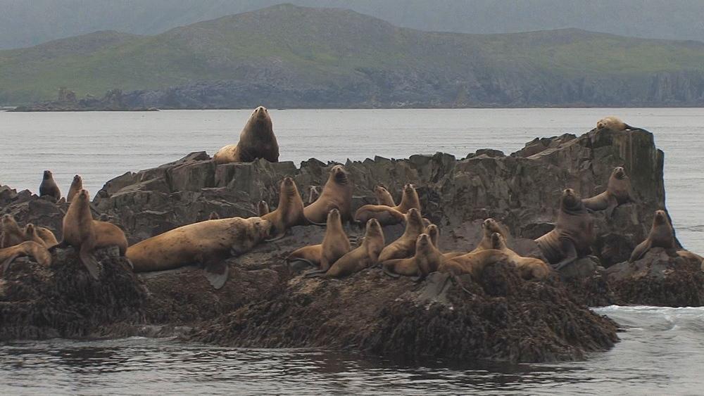 Steller's sealion (Eumetopias jubatus) rookery. Endangered species. Northern Pacific, Aleutian Islands. Alaska - 959-55