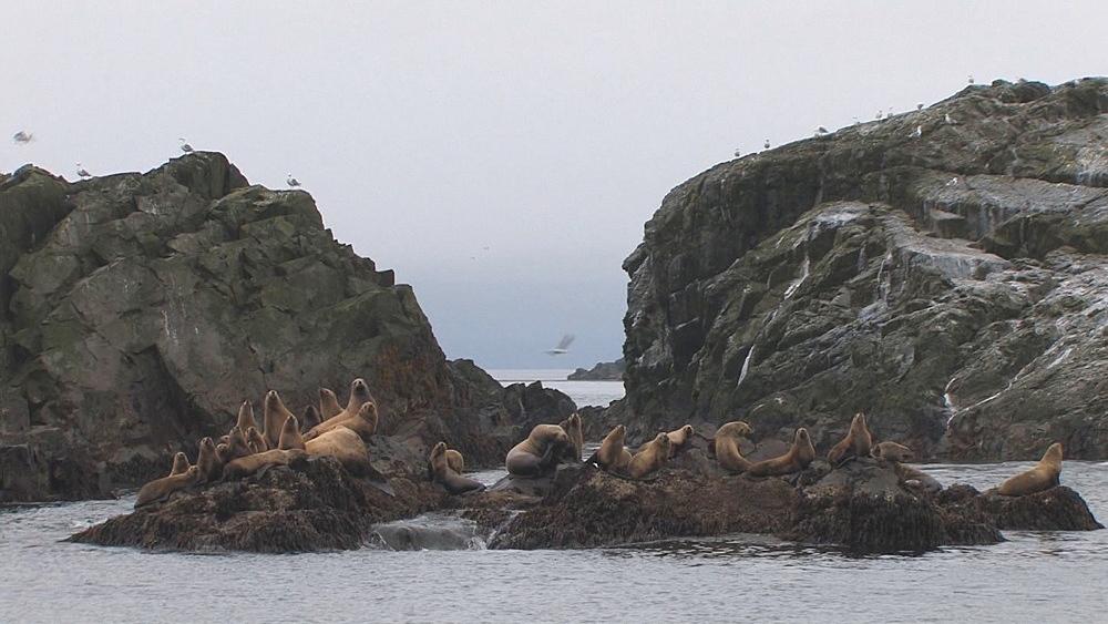 Steller's sealion (Eumetopias jubatus) rookery. Endangered species. Northern Pacific, Aleutian Islands. Alaska - 959-59