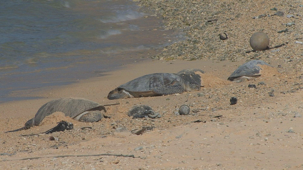 Green sea turtles (Chelonia mydas) on beach near rubbish. Conservation story - rubbish. Midway Island. Pacific - 959-6