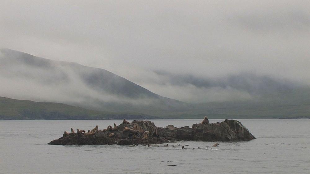 Steller's sealion (Eumetopias jubatus) rookery. Endangered species. Northern Pacific, Aleutian Islands. Alaska - 959-61