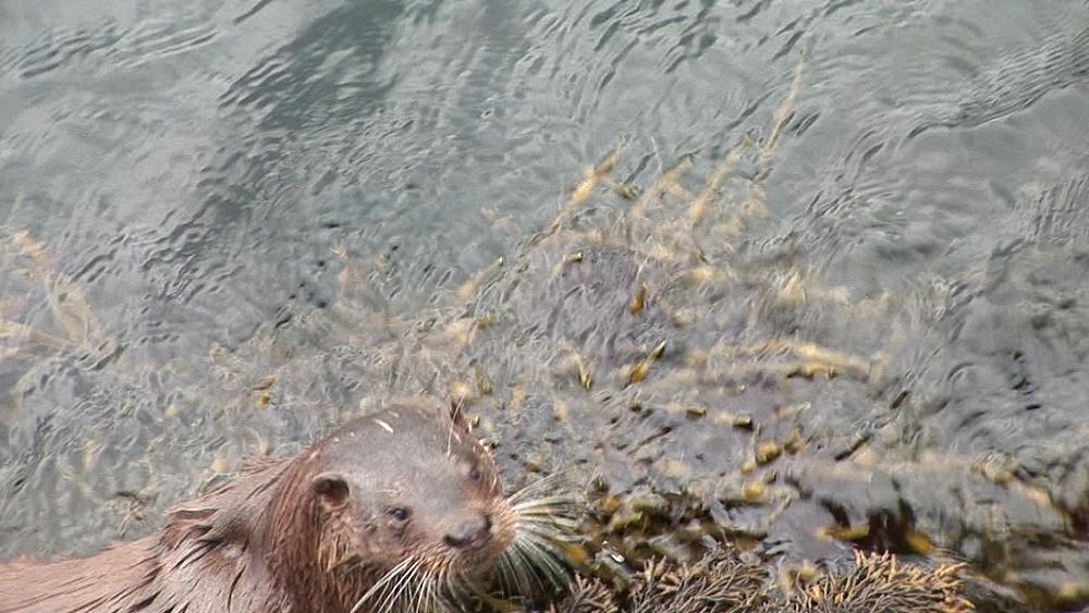 Eurasian otter (Lutra lutra). Foraging along shore. Tobermory. Mull. Scotland - 988-244