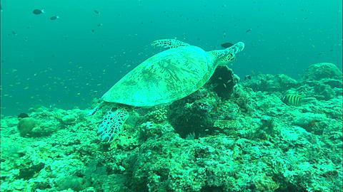 Green turtle swimming out of frame. Borneo, Malaysia, Southeast Asia