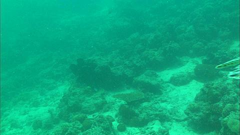 Green turtle, clears frame . Borneo, Malaysia, Southeast Asia
