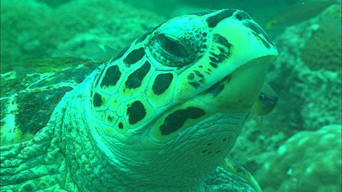 Green turtle at cleaning station Borneo, Malaysia, Southeast Asia