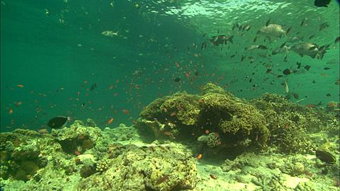 Reef with small fish, Borneo, Malaysia, Southeast Asia