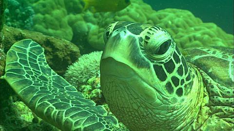 Green Sea Turtle, resting. Borneo, Malaysia, Southeast Asia