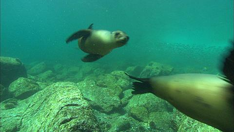 Sea Lions, two swim by over rocky bottom, then out frame, Mexico