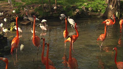 Flamingos, strut water, Florida, North Atlantic Ocean  - 1010-1816