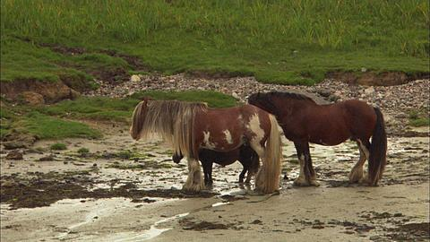 Horses, Coll, Scotland, three standing in wind at low tide, two. Scotland, UK