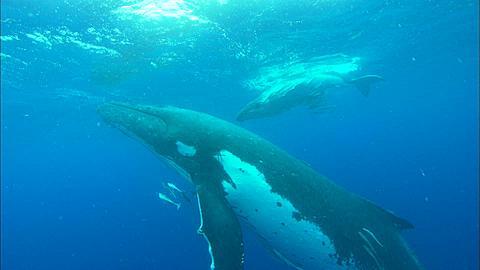 Whales, Humpback, mother and calf, surfacing Tonga, South Pacific Ocean