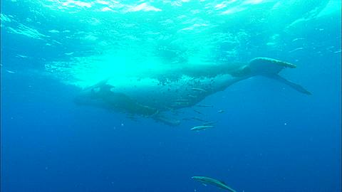 Whales, Humpback, mother and calf, mother slowly descends, followed by calf Tonga, South Pacific Ocean