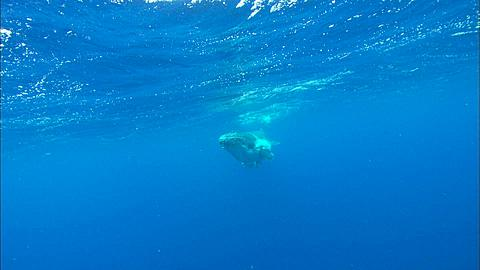 Whales, Humpback, calf surfaces, comes to camera, then away Tonga, South Pacific Ocean