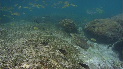 Green turtle (Chelonia mydas) Rest. Aldabra, Indian Ocean