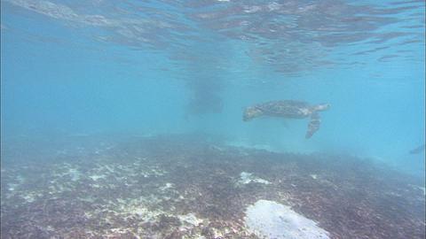 Green turtles (Chelonia mydas), males wait for females, underwater, Aldabra, Indian Ocean