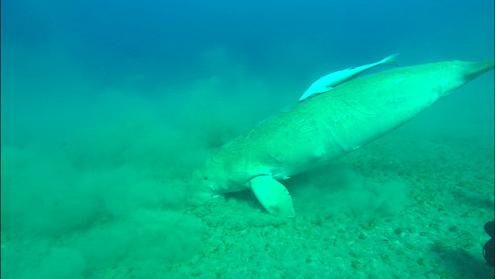 Dugong, at surface for air, swims down and feeds, United Arab Emirates, Middle East