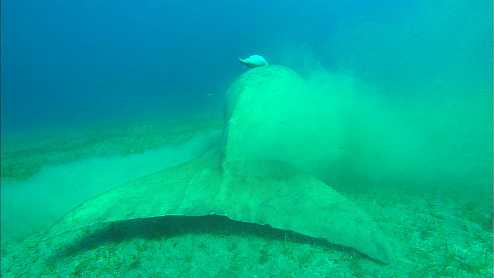 Dugong, at surface for air, green turtle in shot at beginning, swims down to feed, United Arab Emirates, Middle East