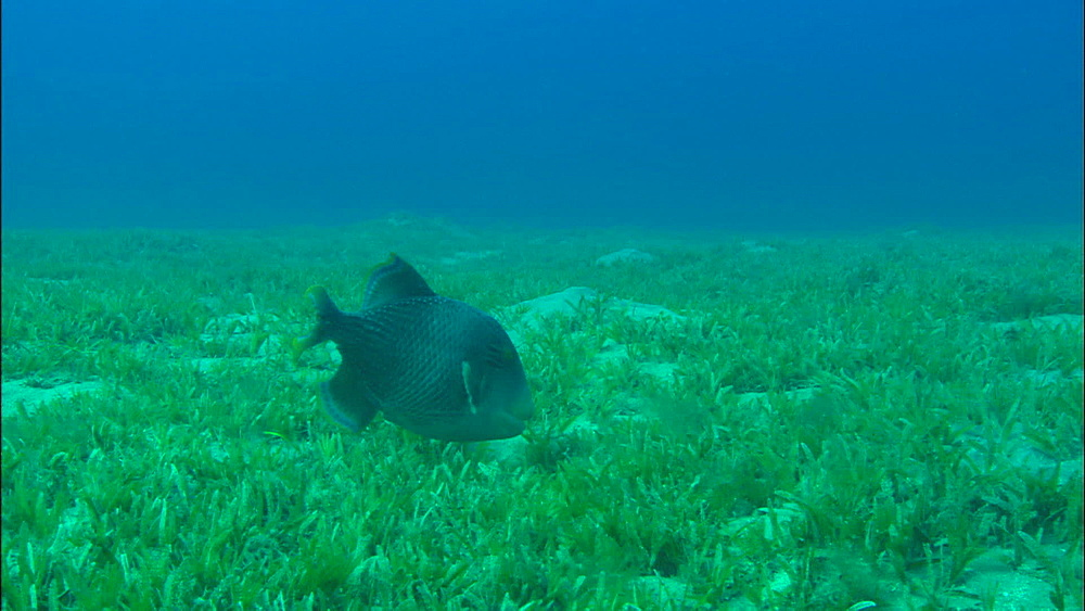 Trigger fish feeds, United Arab Emirates, Middle East