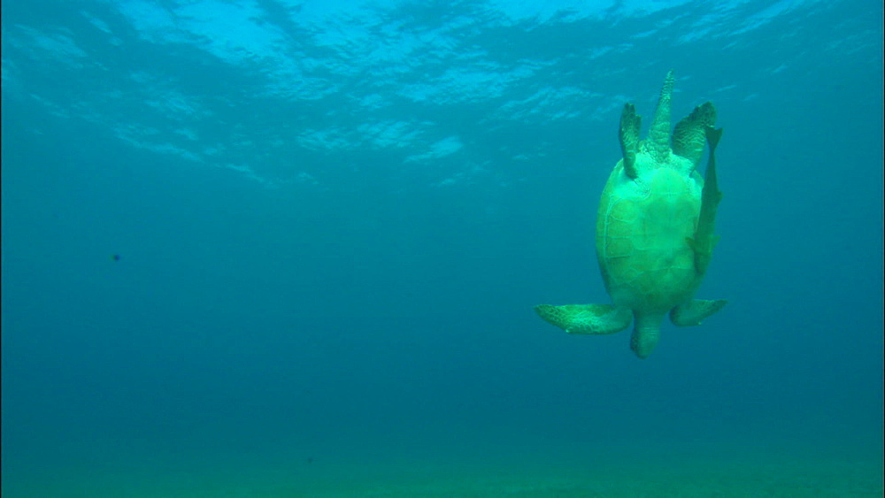 Turtle at surface for breath, swims down to feed on eel grass, United Arab Emirates, Middle East