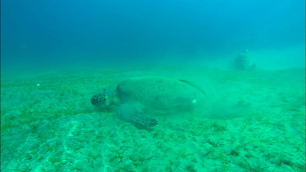 Turtle, dugong feed on eel grass, United Arab Emirates, Middle East